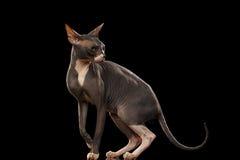Sphynx Cat Funny Standing und Schauen zurück lokalisiert auf Schwarzem Stockbilder