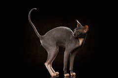 Sphynx Cat Funny Standing und Schauen zurück lokalisiert auf Schwarzem Lizenzfreies Stockbild