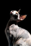 Sphynx cat. The Sphynx hairless cat on the black background Stock Image