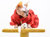 Sphynx cat handmade dress mouse toy Stock Image