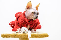 Sphynx cat handmade dress mouse toy funny look Stock Image