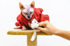 Sphynx cat handmade dress pet shop stand Stock Photo