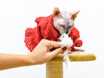 Sphynx cat handmade dress pet shop stand Royalty Free Stock Image