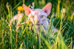 Sphynx cat hiding. Canadian hairless sphynx cat looking, hiding outdoors Royalty Free Stock Images