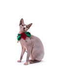 Sphynx cat in Holidays Collar Royalty Free Stock Photo
