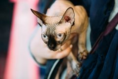 Sphynx Cat Kitten Cat Known For Its Lack della pelliccia del cappotto Fotografia Stock