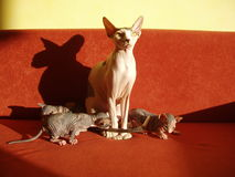 Sphynx cat and kittens. Canadian hairless Sphynx cat and kittens on a red couch stock images