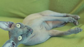 Sphynx cat lazy lying on couch closeup slow motion stock video