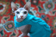 Sphynx cat looking into the camera in a sweater Royalty Free Stock Images