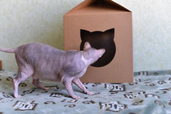 Sphynx cat looking at the house stock images