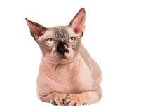 Sphynx cat lying down Royalty Free Stock Photo