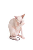 Sphynx cat paw closes Royalty Free Stock Photography