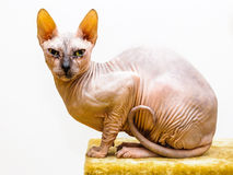 Sphynx cat pet shop stand isolated Stock Photography