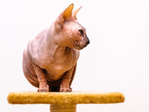 Sphynx cat pet shop stand Royalty Free Stock Images