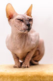Sphynx cat pet shop stand Royalty Free Stock Photos