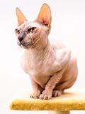 Sphynx cat pet shop stand Stock Images