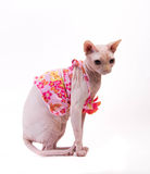 Sphynx cat in pink dress on white background Stock Image