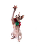 Sphynx cat playing in Holidays Collar Royalty Free Stock Image