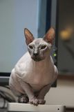 Sphynx cat portrait. Canadian Hairless cat portrait, vertical Stock Images