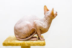 Sphynx cat portrait pet shop stand looking up Stock Photography