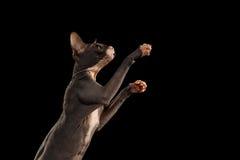 Sphynx Cat Reaching Paw auf Schwarzem Stockfoto