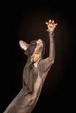 Sphynx Cat Reaching Paw auf Schwarzem Lizenzfreie Stockbilder