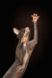 Sphynx Cat Reaching Paw op Zwarte royalty-vrije stock afbeeldingen