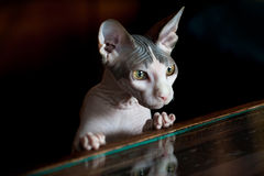 Sphynx cat reflected on glass table. Black background. Sphynx cat reflected on glass table. Black background Stock Image