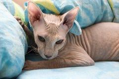 Sphynx cat resting Stock Photos