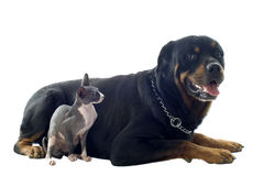 Sphynx Cat and rottweiler Stock Photos