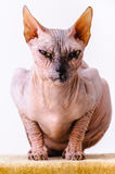 Sphynx cat scary portrait Stock Photos