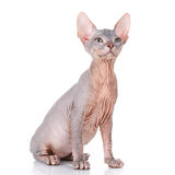 Sphynx cat siting on a white background, looking up Stock Photography