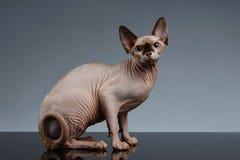 Sphynx Cat Sits en vista delantera sobre negro imágenes de archivo libres de regalías