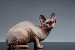 Sphynx Cat Sits en vista delantera sobre negro fotografía de archivo