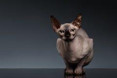 Sphynx Cat Sits en vista delantera sobre negro imagen de archivo