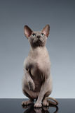 Sphynx Cat Sits and Looking up on Black Royalty Free Stock Image