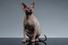 Sphynx Cat Sits and Looking up on Black Royalty Free Stock Photography