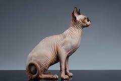 Sphynx Cat Sits y mirada adelante en negro foto de archivo libre de regalías