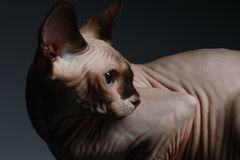 Sphynx Cat Sits y mirada detrás en negro fotos de archivo libres de regalías