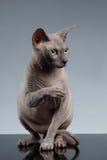 Sphynx Cat Sits y mirada para arriba en negro fotos de archivo