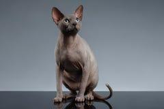Sphynx Cat Sits y mirada para arriba en negro fotografía de archivo libre de regalías