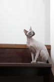Sphynx cat sitting on the stairs. Vertical Stock Photo