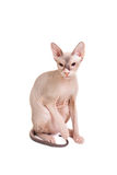 Sphynx cat sitting Royalty Free Stock Photography