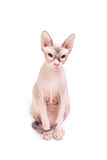 Sphynx cat sitting Royalty Free Stock Photos