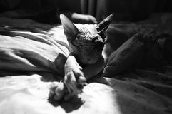The Sphynx cat sleeps on a bed in black and white tones royalty free stock photo