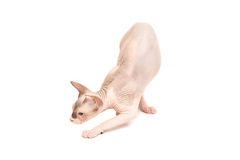 Sphynx cat sneaks. Up on a white background Stock Images