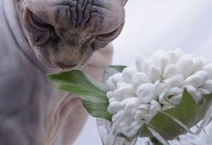 Sphynx cat sniffs snowdrop Royalty Free Stock Image