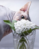 Sphynx cat sniffs snowdrop Royalty Free Stock Photography