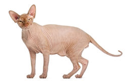 Sphynx cat standing Stock Photography