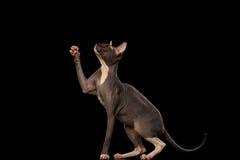 Sphynx Cat Standing auf Hind Legs Reaching Paw, schwarz Stockfotos